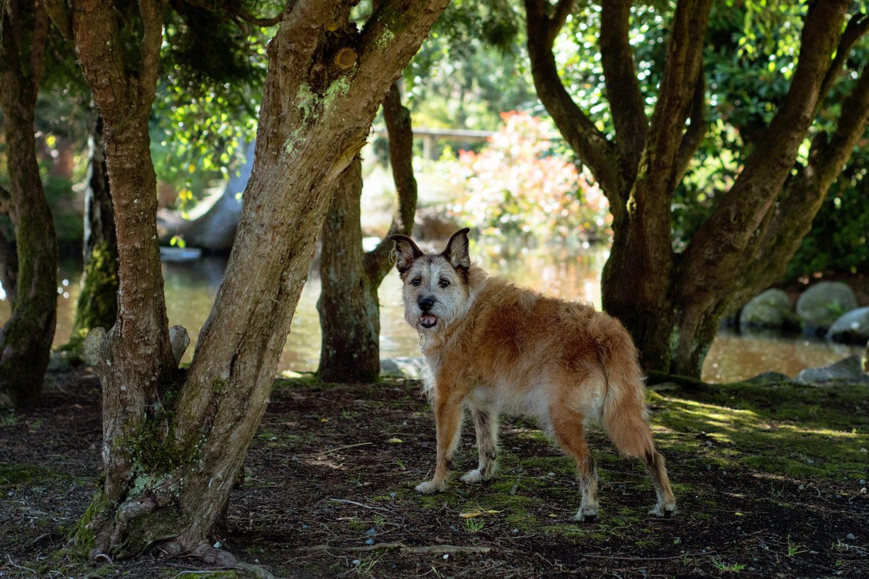 Portrait of Elderly dog at Point Defiance duck pond