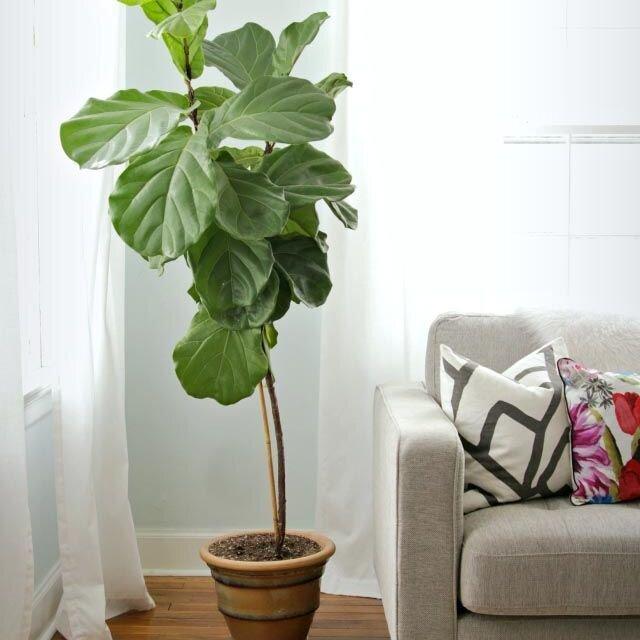 square-1492530804-oversized-plants-fiddle-leaf-fig.jpg