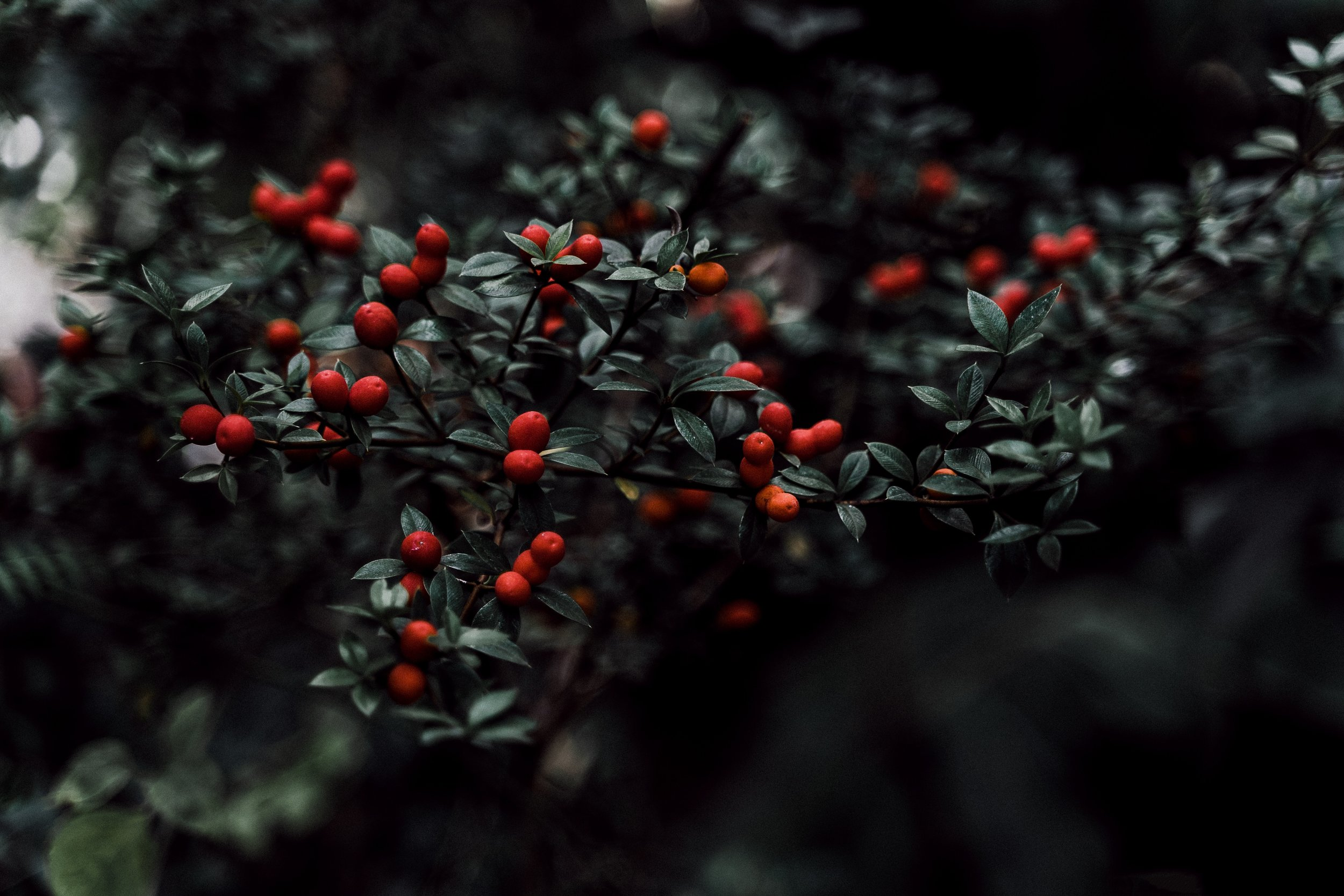 berries-blur-branch-2873472.jpg