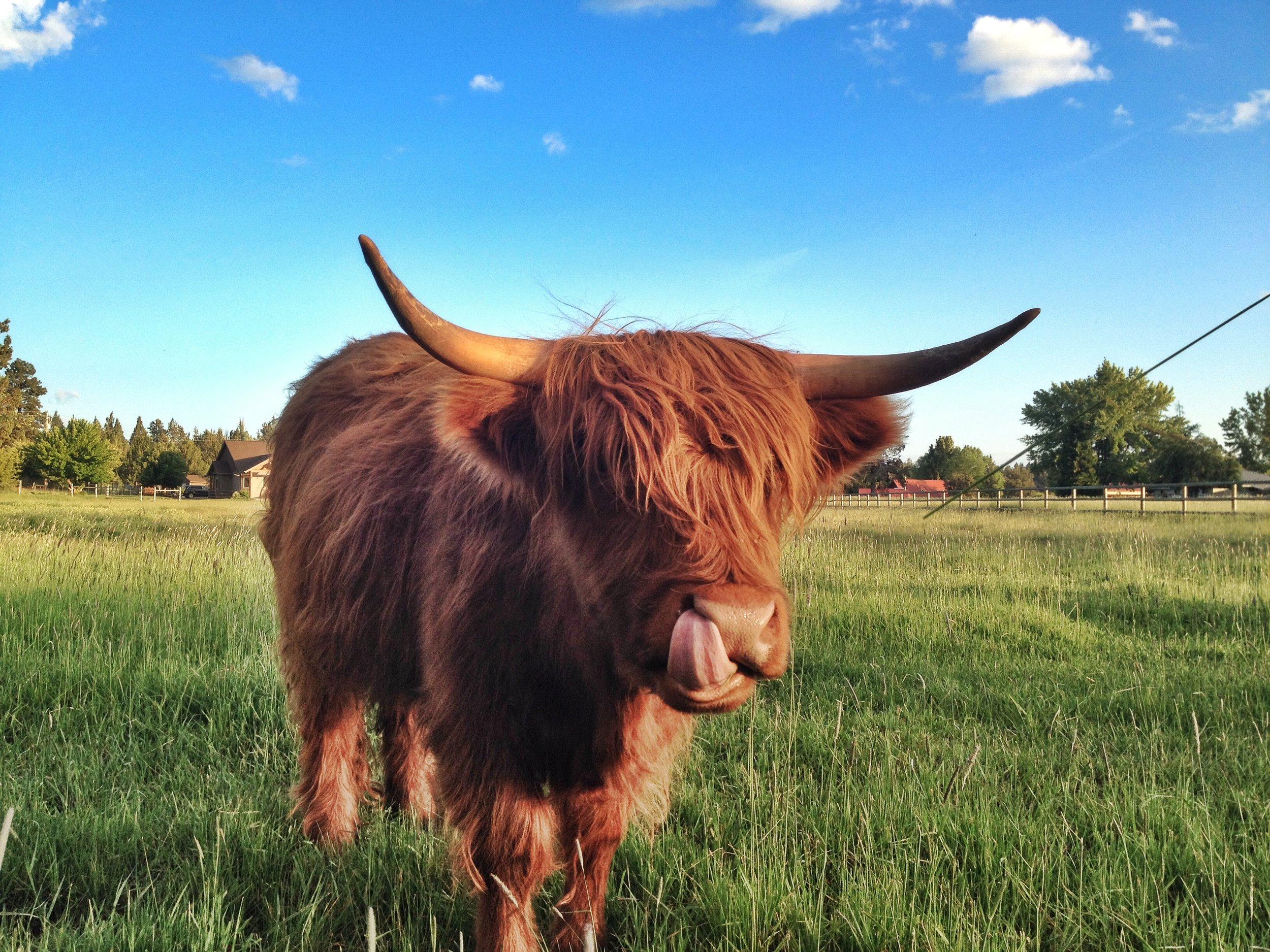 [Frangog, our favorite Scottish cow. After aday of success, we finally built up the nerve to pet him.]