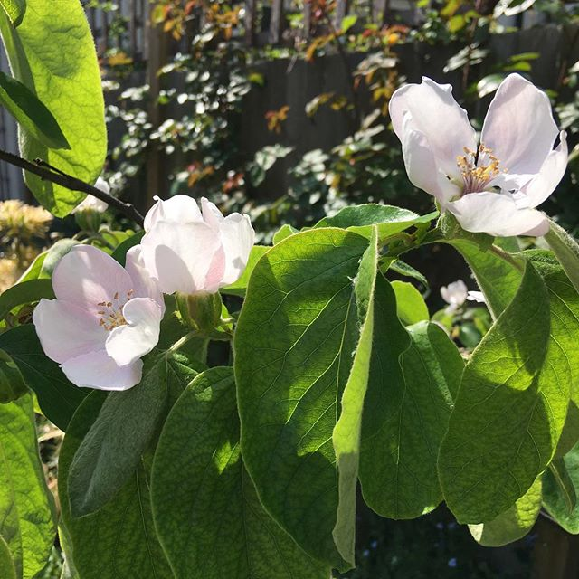 My quince tree is blooming this year for the first time. Will it give me fruit?#blossom #londongarden #fruittreesinmybackyard #fruittree