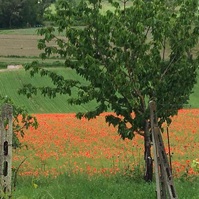 Poppy field in Tuscany. No herbicides in use here. #poppies #tuscanyitaly