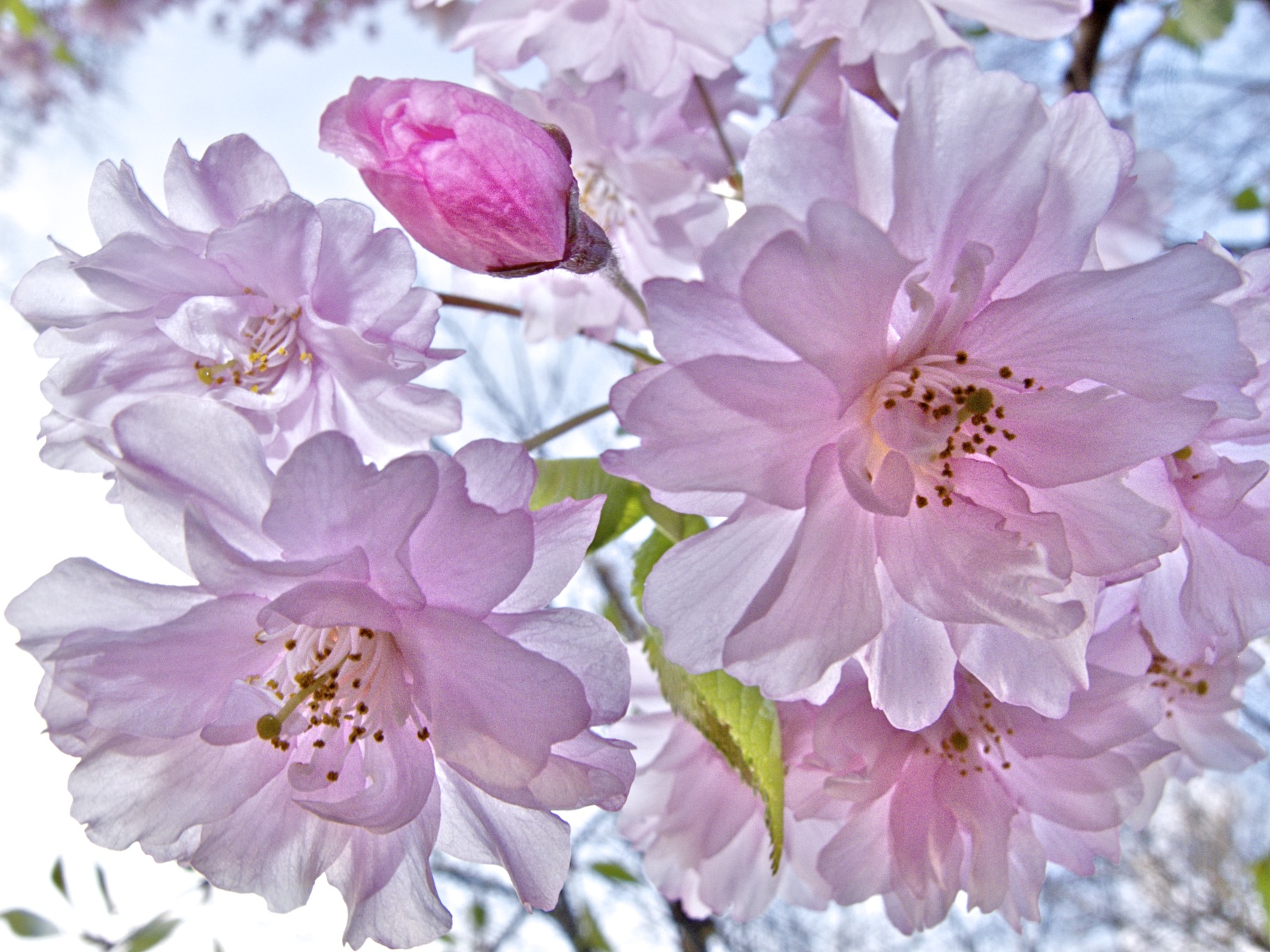 ©Richard Frank Cherry Blossoms IMG1055.jpg