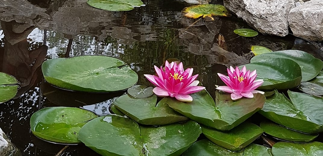 Lilies in the pond at Maha Pura Yoga Studio in Guelph