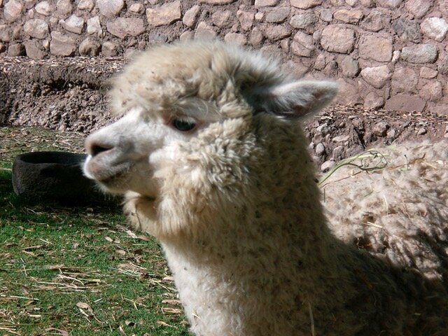 Forever Llama Love
