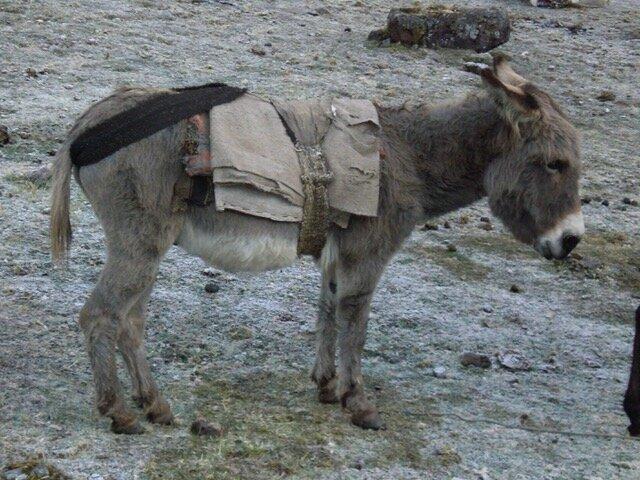 Sacred Donkey