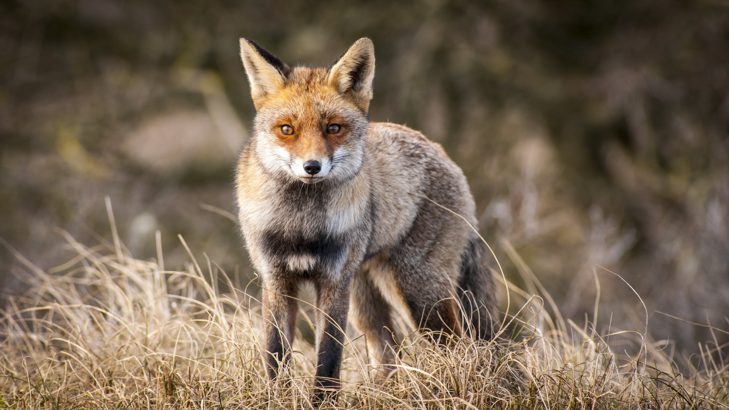 red-rock-hounds-fox-hunting