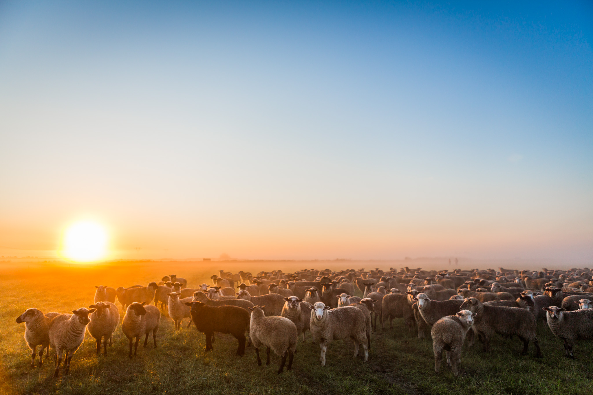 Farmland LP is converting conventional farmed land in Brentwood, California to organic pasture for raising grass-fed sheep and cattle.