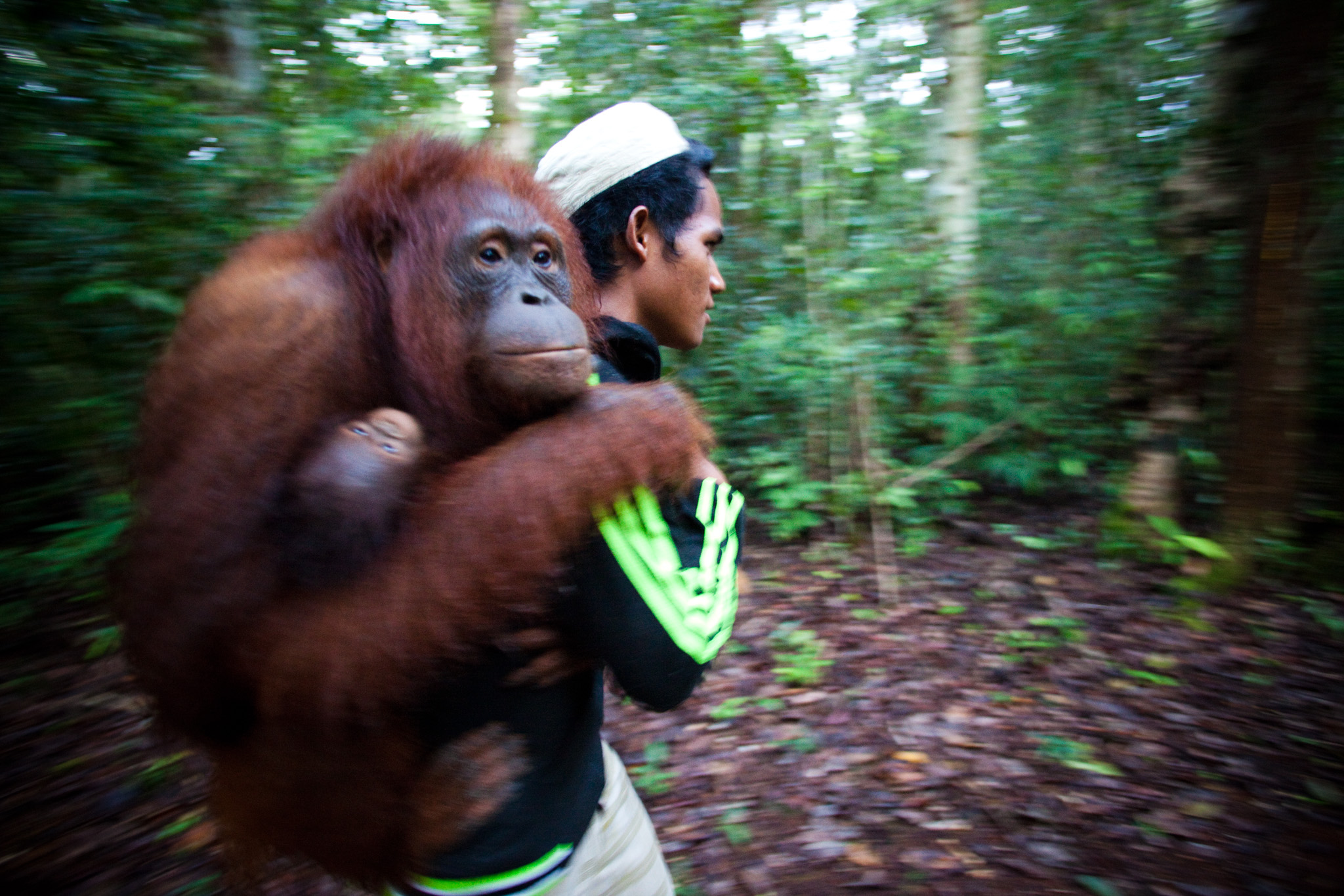 Irus is giving Edo and her baby a ride to the morning feeding—except that orangutans don't really ride, they just hang on a person like a sack of gravel, fifty pounds of the deadest dead weight. Irus comes from Babual Baboti, one of the Dayak villages on the periphery of the Lamandau reserve where Yayorin is working to build community support for conservation. He makes about ninety dollars each month as a field assistant at Camp Rasak, where his duties include feeding the released orangutans and periodically following them on their rambles through the forest, seeing where they go and noting their behavior.
