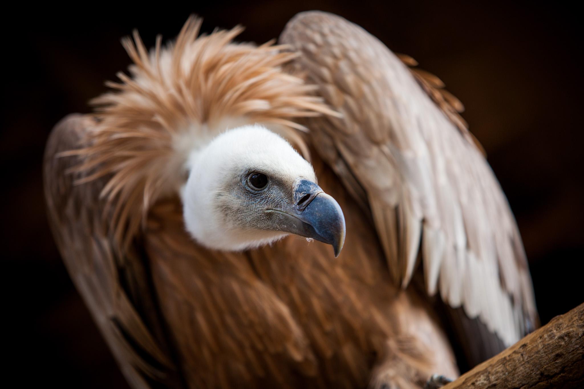 Griffon Vulture (captive), Green Chimneys, Brewster, NY