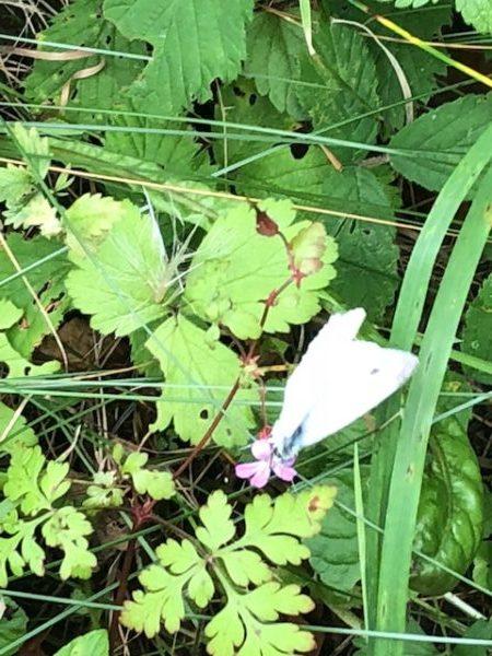 My-butterfly-29.07.18-600x450.jpg