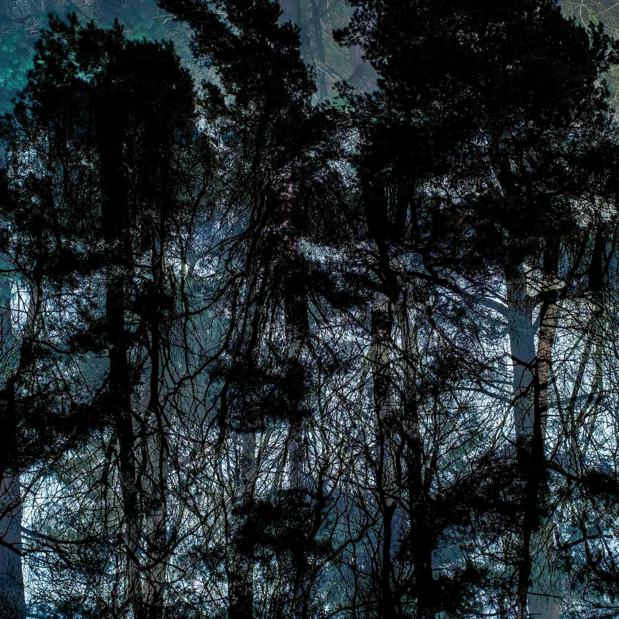 Tall pines_.jpg