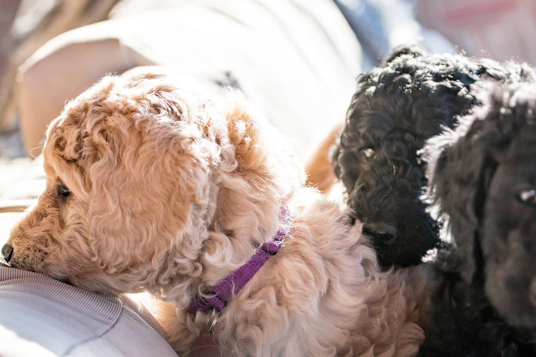 Boulder Puppies