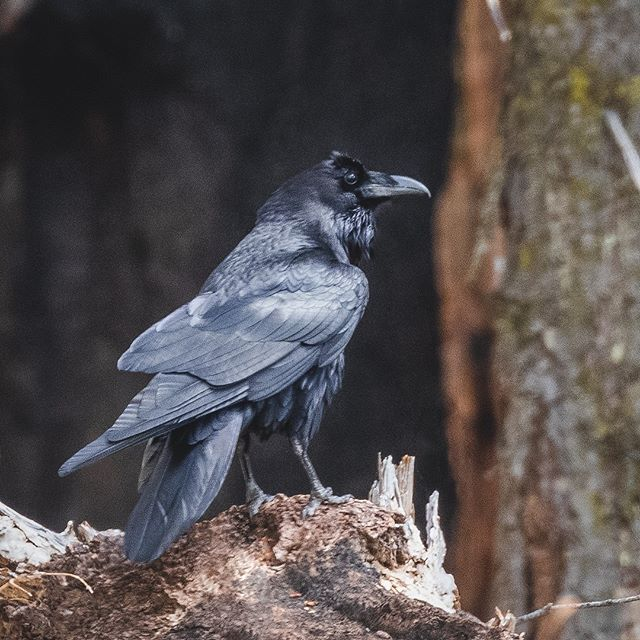 A Common Raven looks inquisitively at the camera. In the background, a charred Sequoia tree.⁠ What do you think this Raven's name should be? Seems like such a character!⁠ ⁠ ⁠ ⁠ ⁠ #birdsofinstagram #naturephotography #your_best_birds #instagood #naturelover #kings_birds #birdstagram #bird #bird_captures #birds #birder #igclubbirds #birding_lounge #birdphotos #birds_bees_flowers_n_trees #bird_freaks #birds_of_ig #birds_matter #birdsonearth #wildgeography #exclusive_wildlife #nuts_about_birds #birdsonearth #ig_vogels #marvelshots #commonraven #sequoiawildlife #raven #sequoia_national_park #wildraven⁠