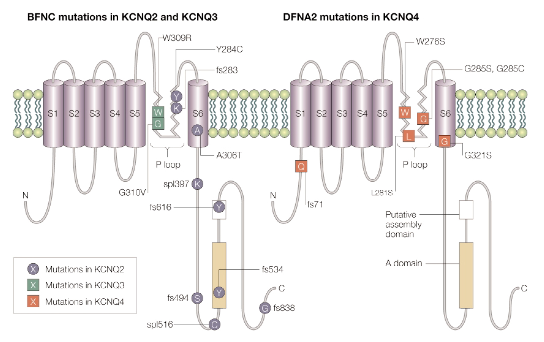Jentsch_2000_NEURONAL KCNQ POTASSIUM CHANNELS PHYSIOLGY AND ROLE IN DISEASE_pg.jpg