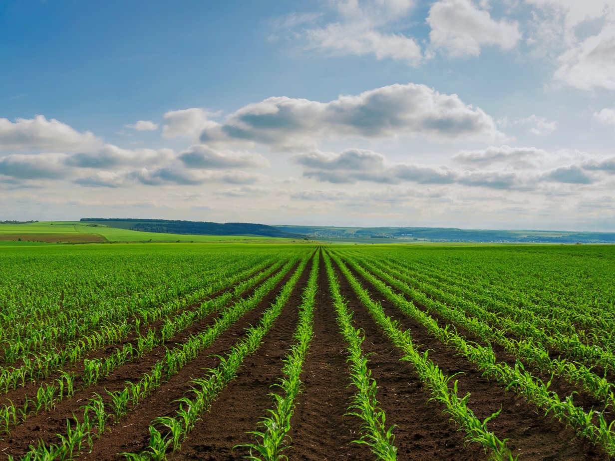 A field with rows of green crops against a blue sky backdrop