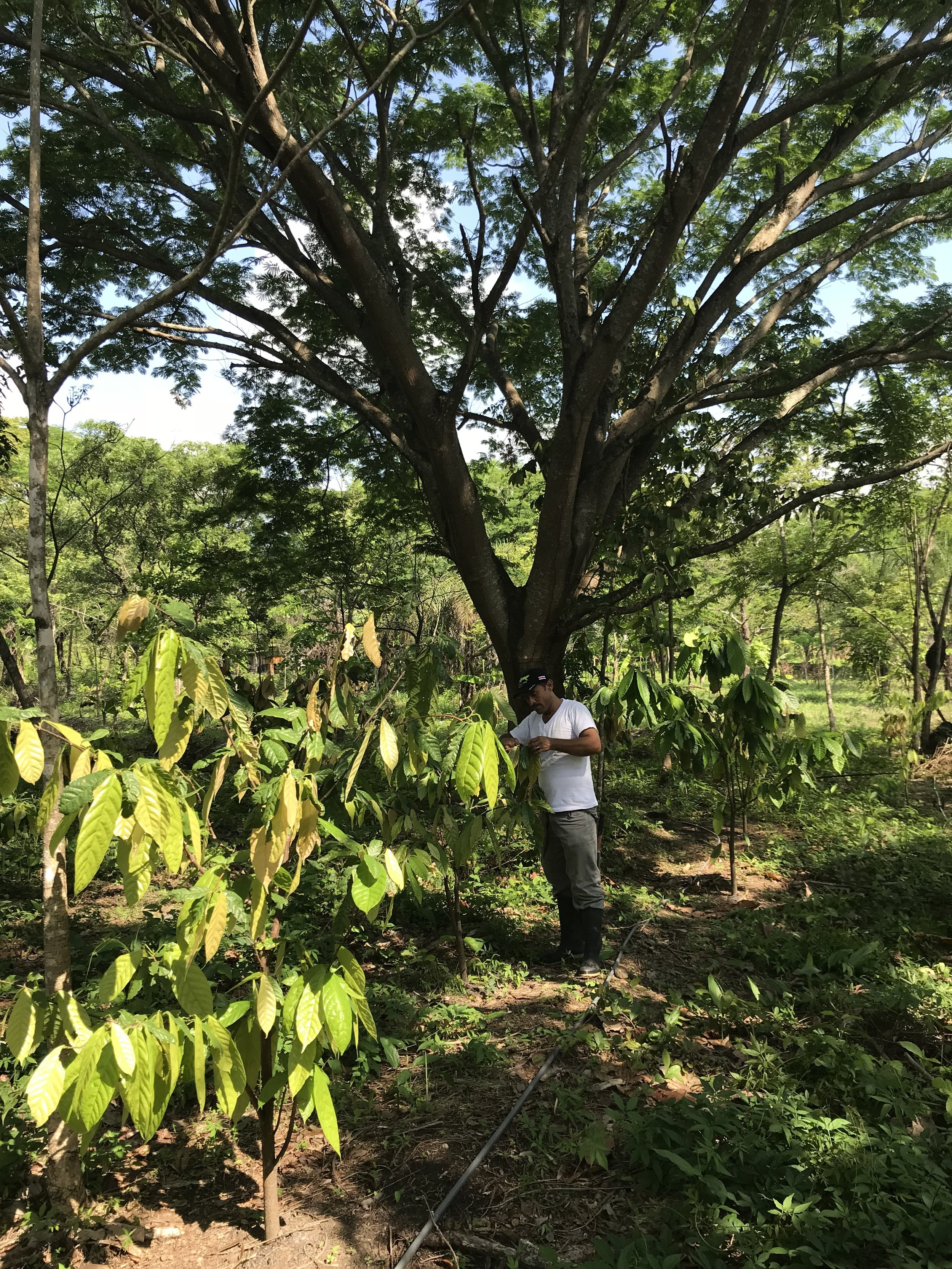 Cacao growing under a shade canopy with Herman pruning a cacao tree