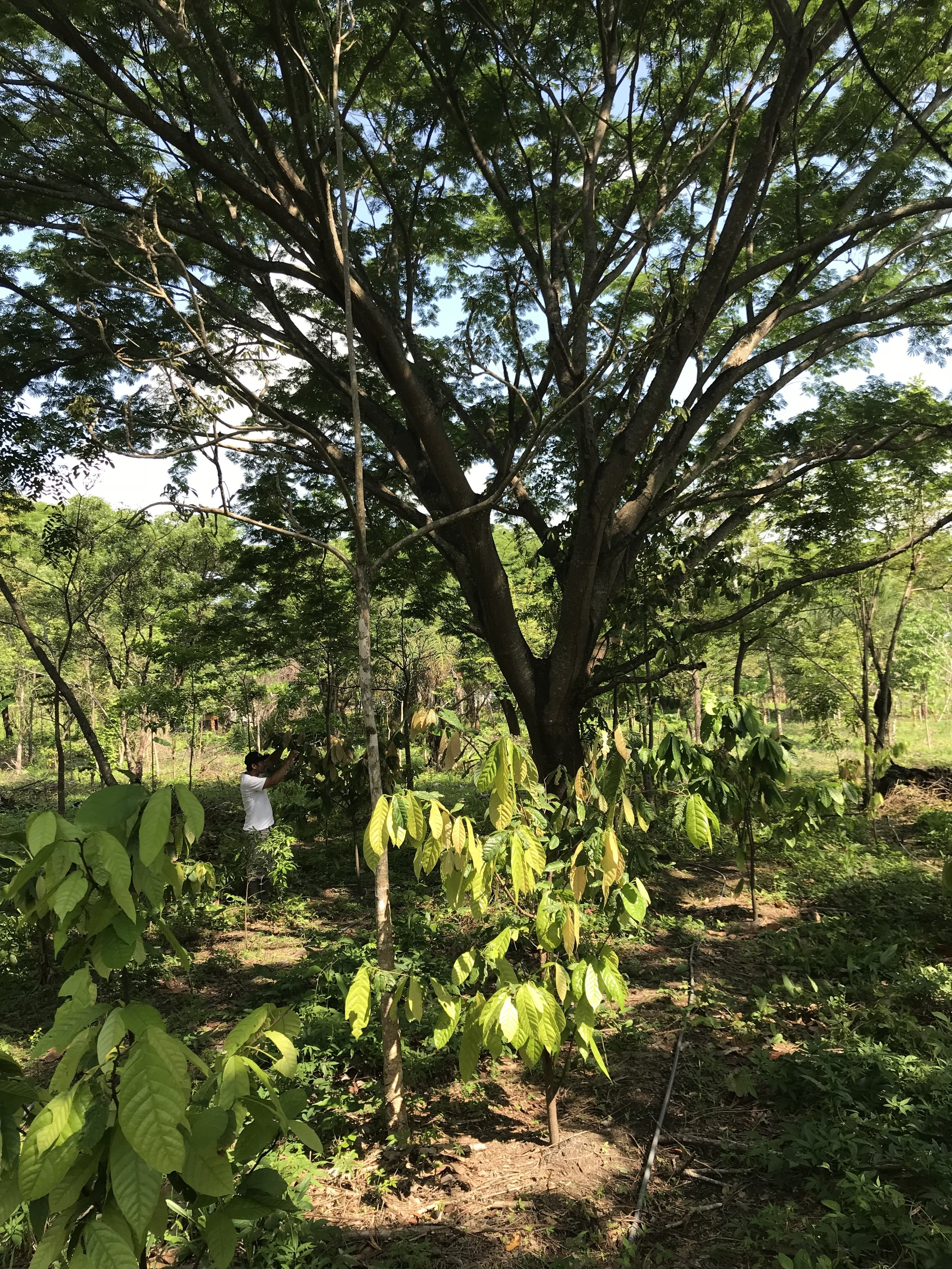 Cacao growing in the shade
