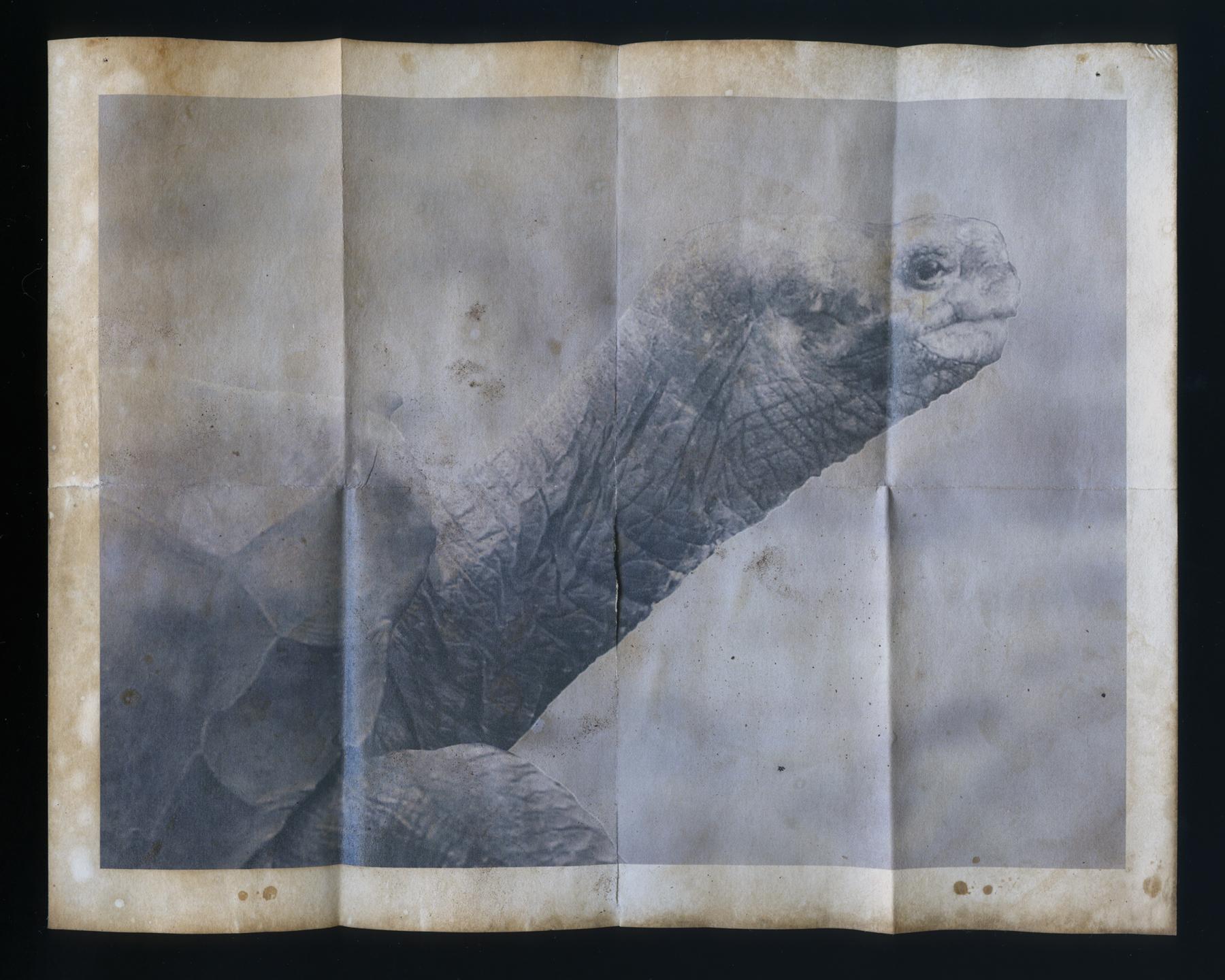 "Chelonoidis nigra abingdonii  ( memento mori )  Archival inkjet print on bamboo paper 8"" x 10 inches 2013"