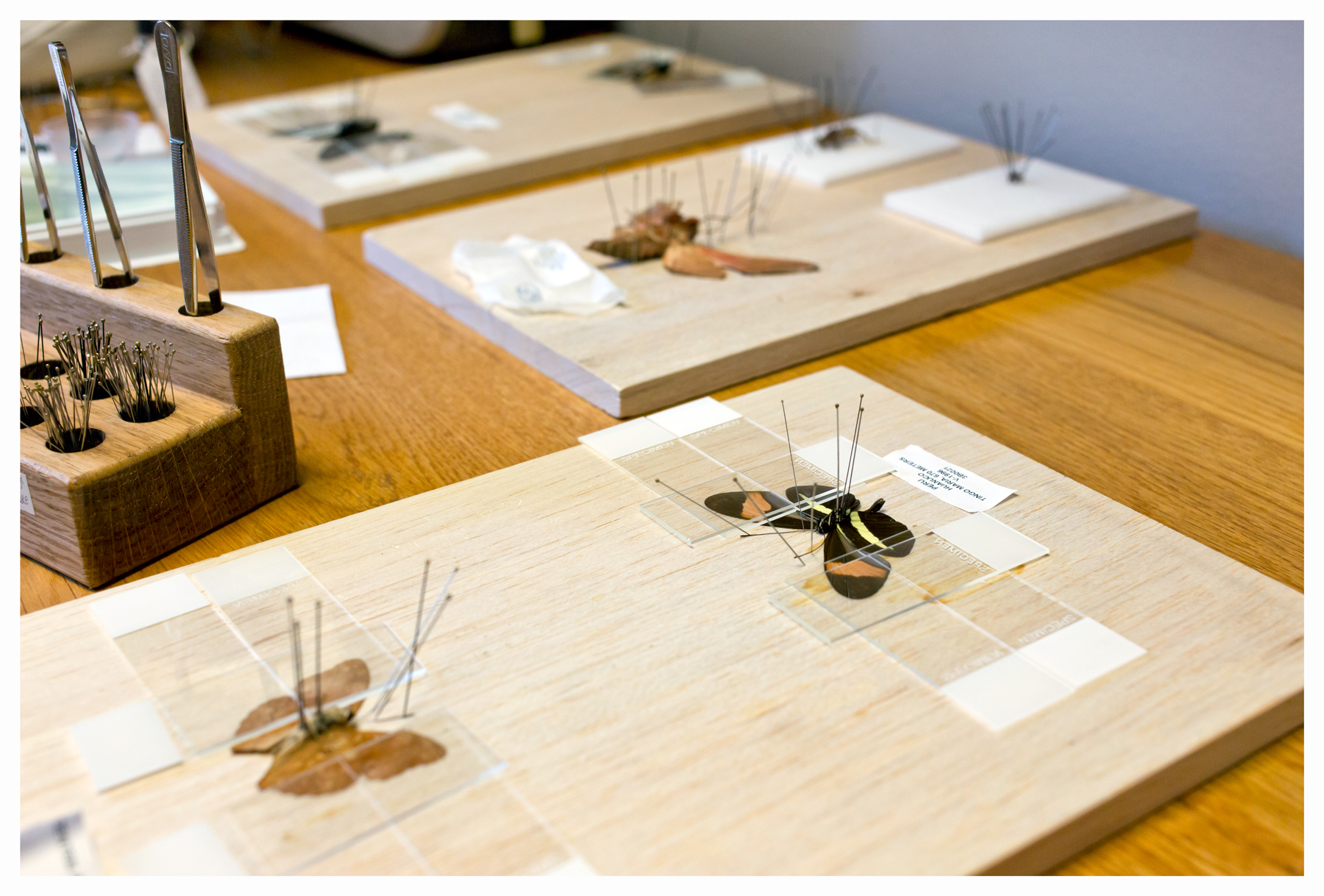 Mounted butterfly & moth specimens; Patel Lab, UC Berkeley; Berkeley, CA; January 2014