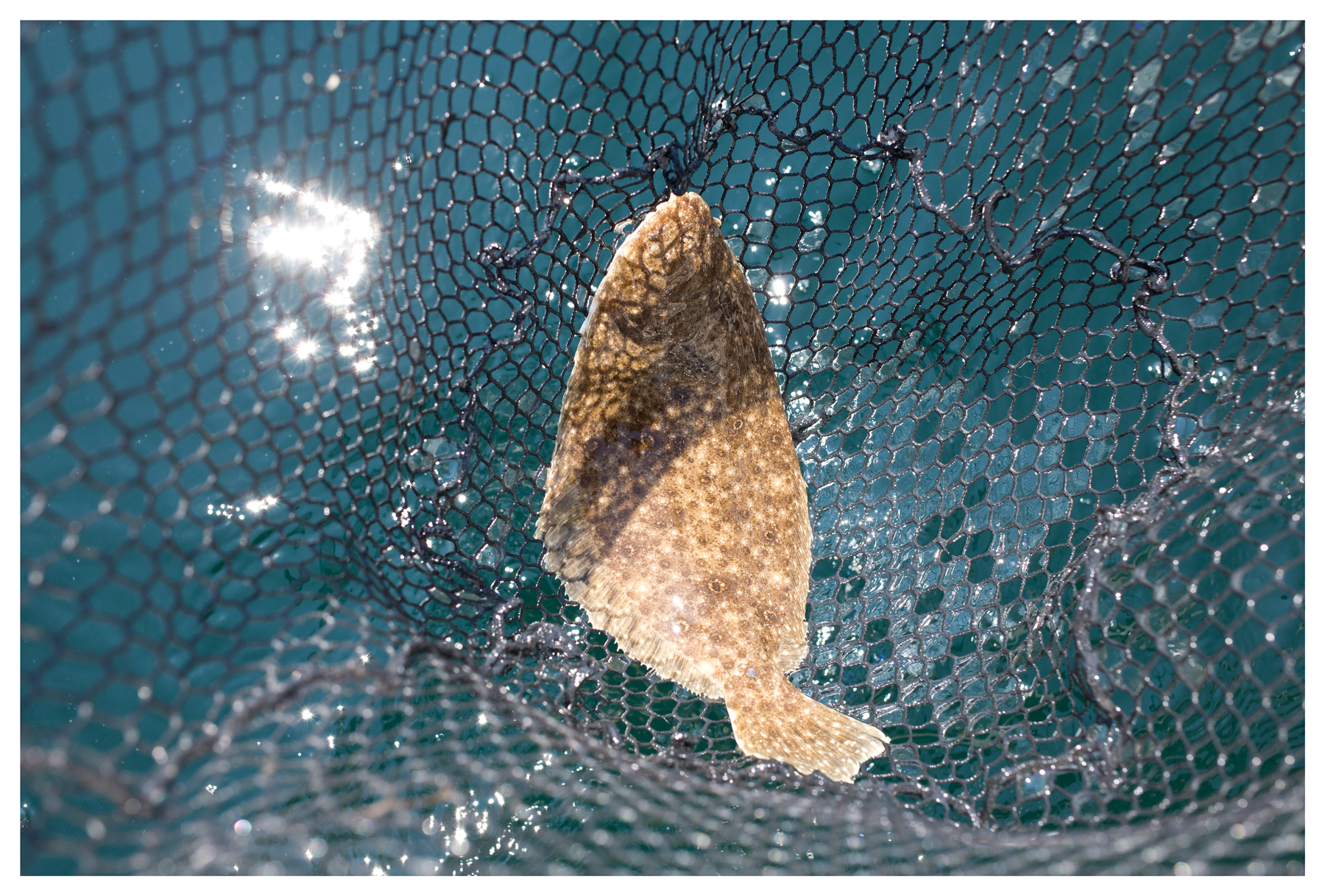 Netted summer flounder; Atlantic Ocean, off Virginia; August 2014