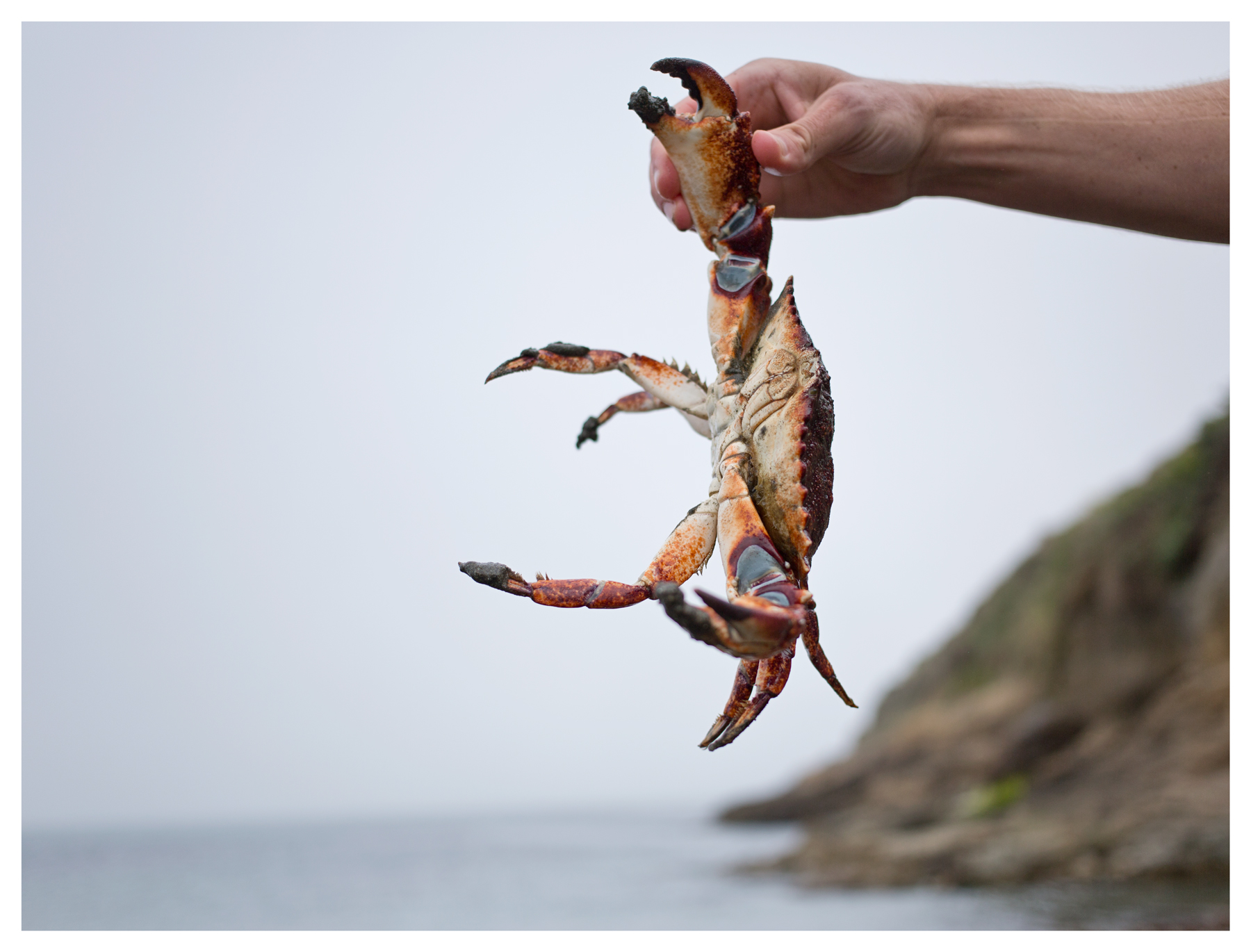 Red rock crab in hand; South Jetty of Doran Regional Park; Bodega Bay, CA; June 2015