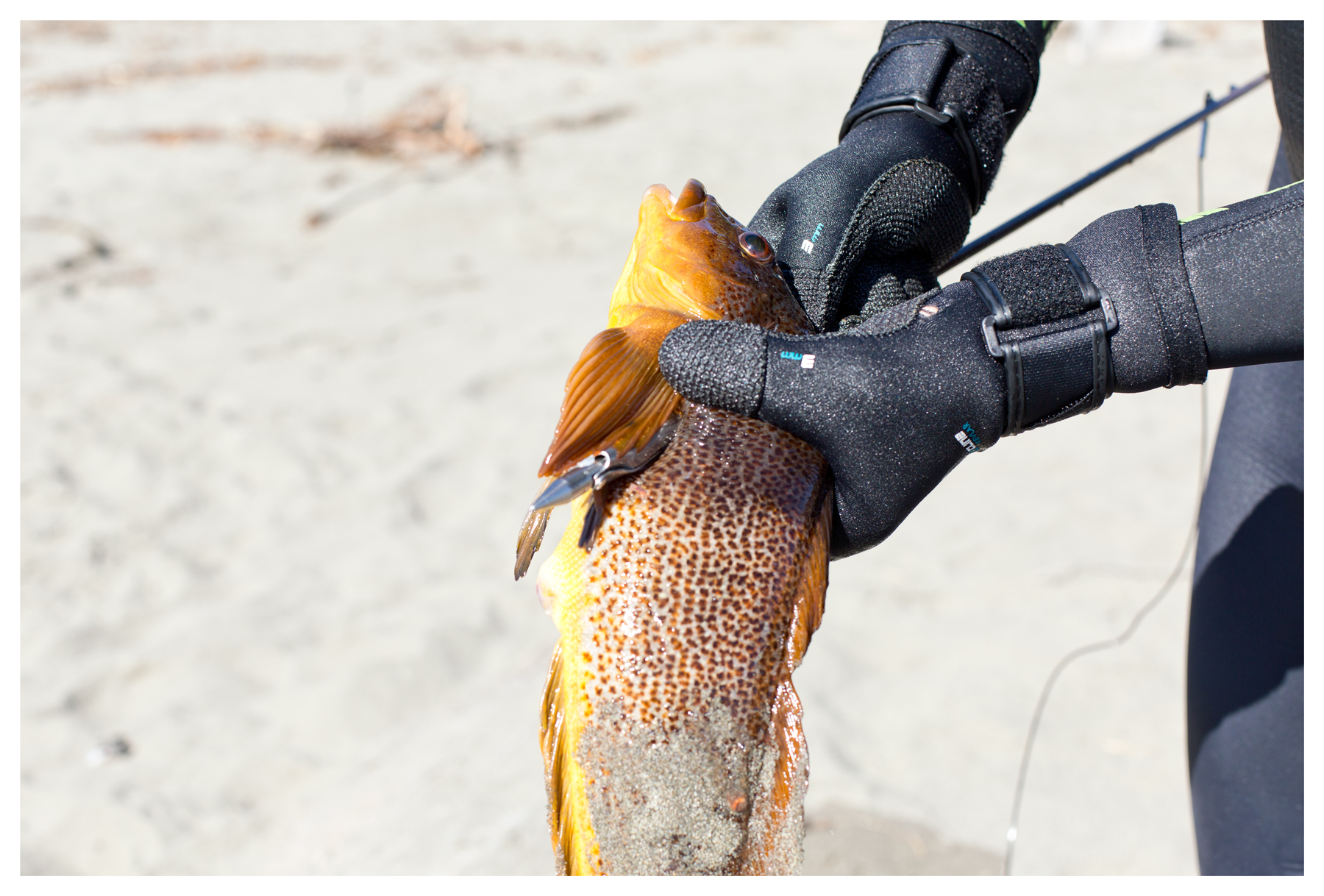 Speared Kelp greenling; Shell Beach; Sea Ranch, CA; September 2015