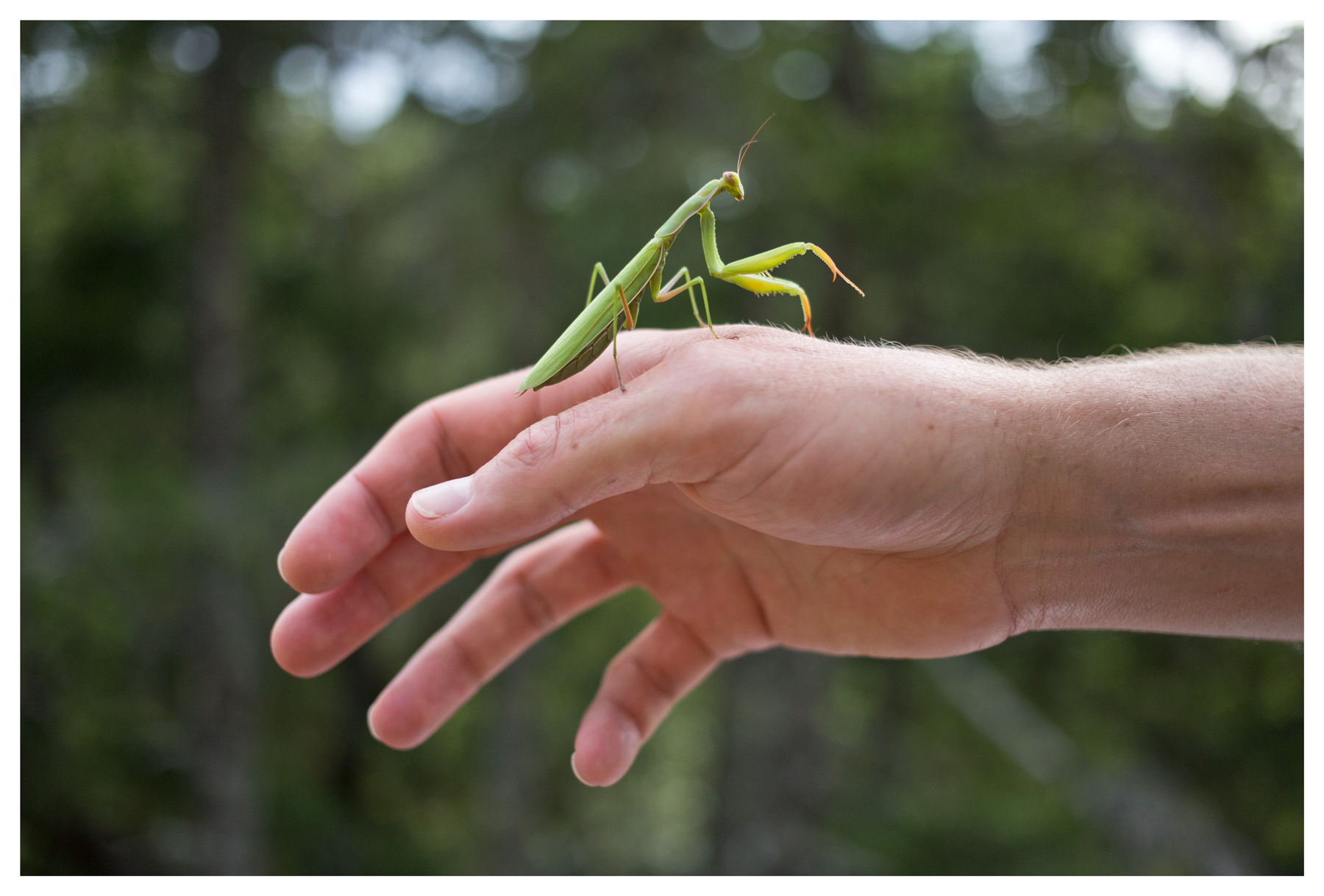 Praying mantis on Nate; Mount Tamalpais; Marin County, CA; July 2014