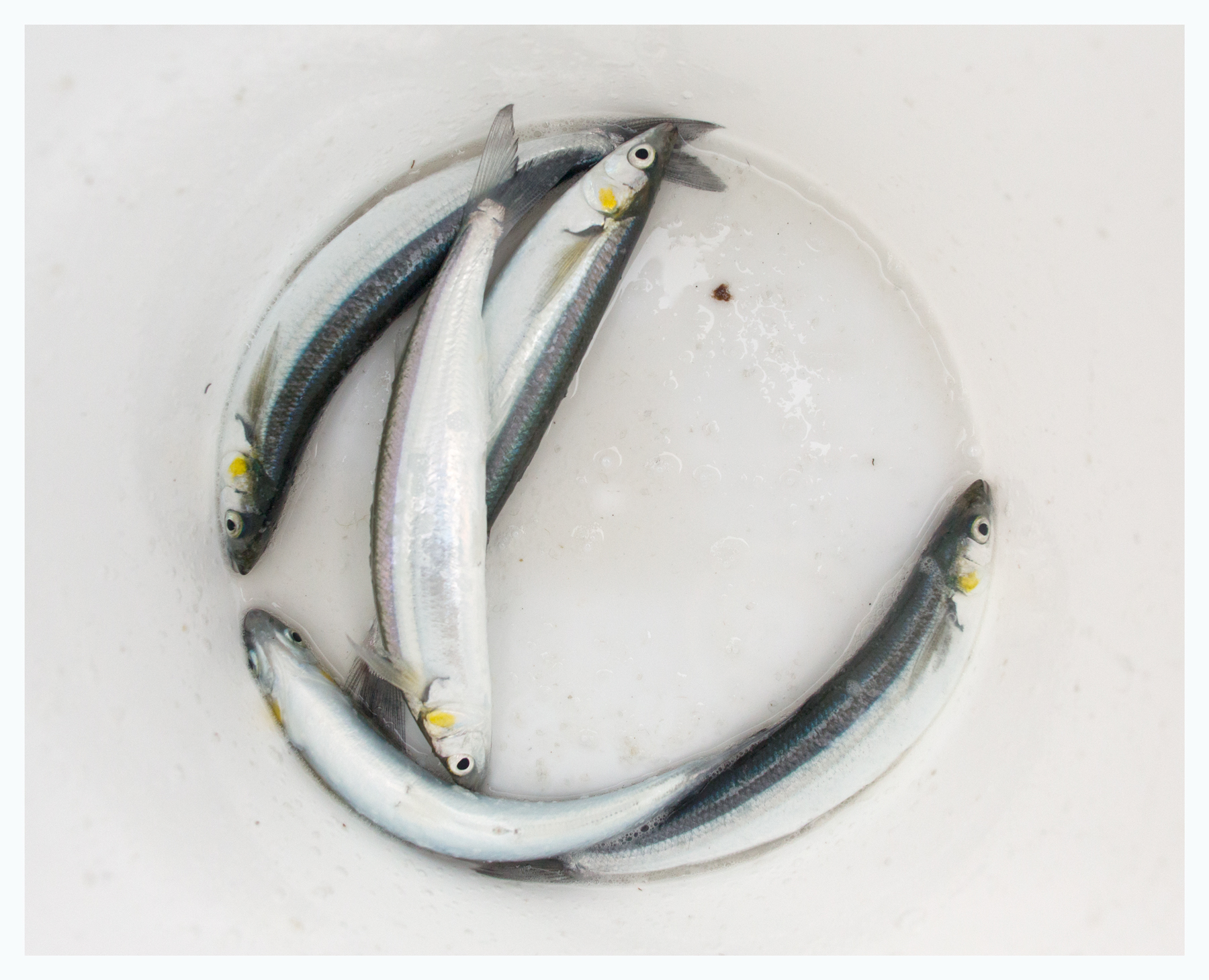 Jacksmelt in a bucket; Tiburon, CA; February 2015