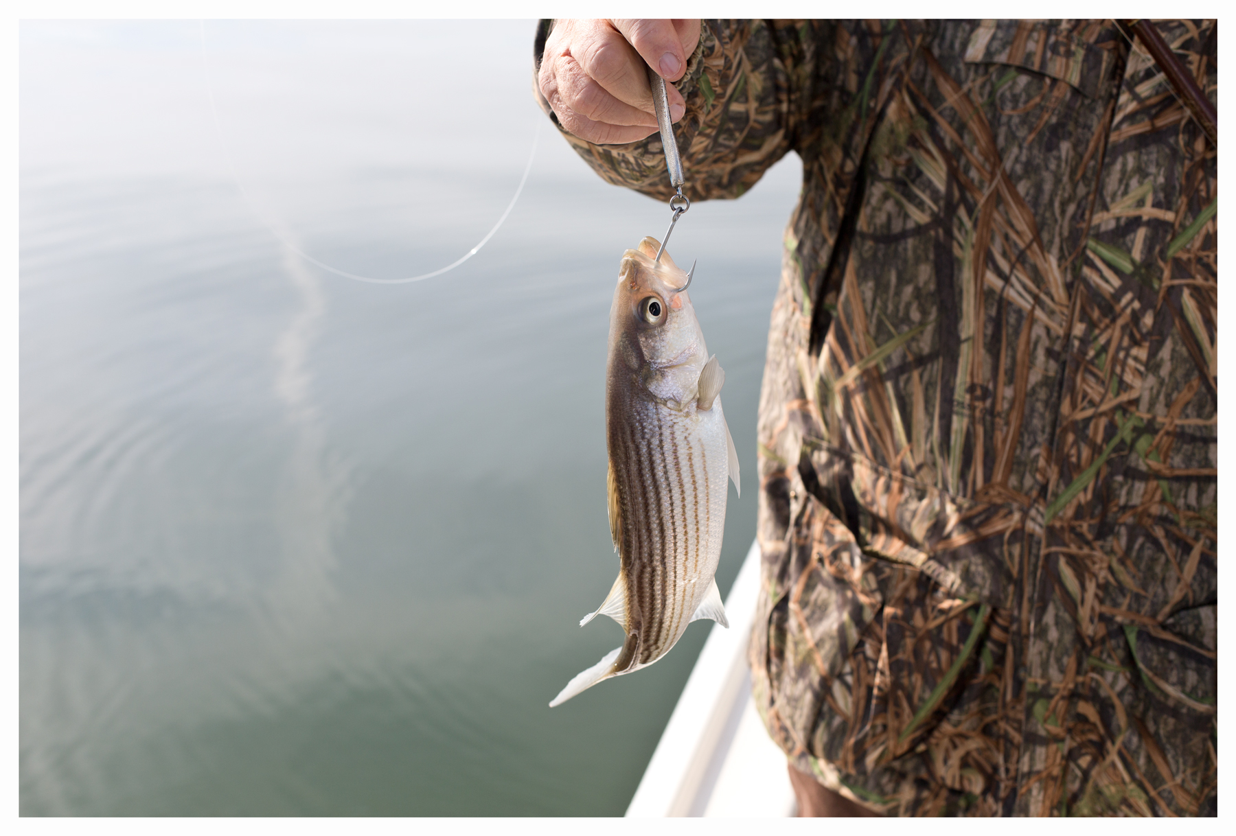 Hooked striped bass; Chesapeake Bay; Eastern Shore of Virginia; December 2013