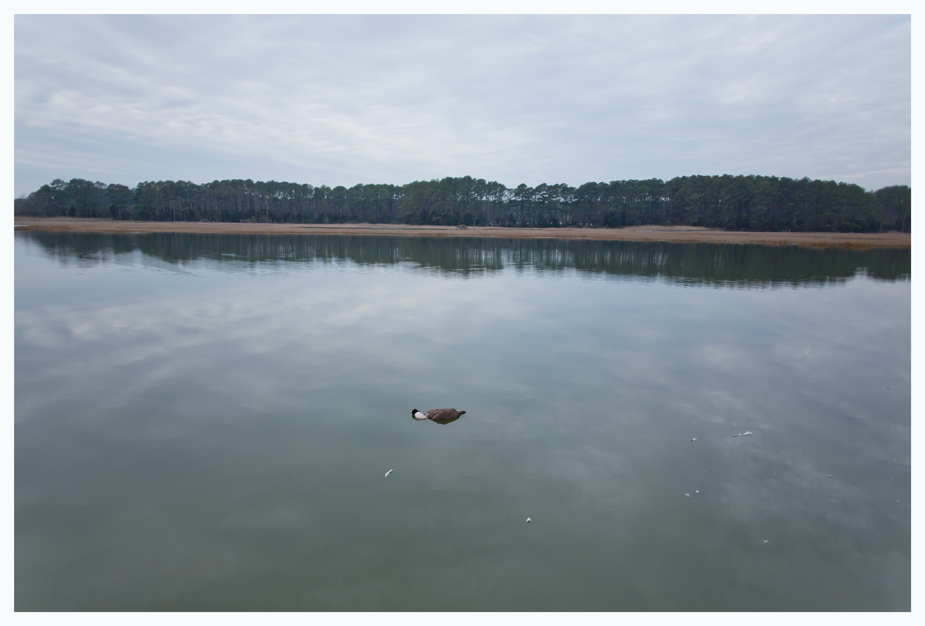Dead Canada; Heron Hope Estuary; Locustville, VA; January 2015