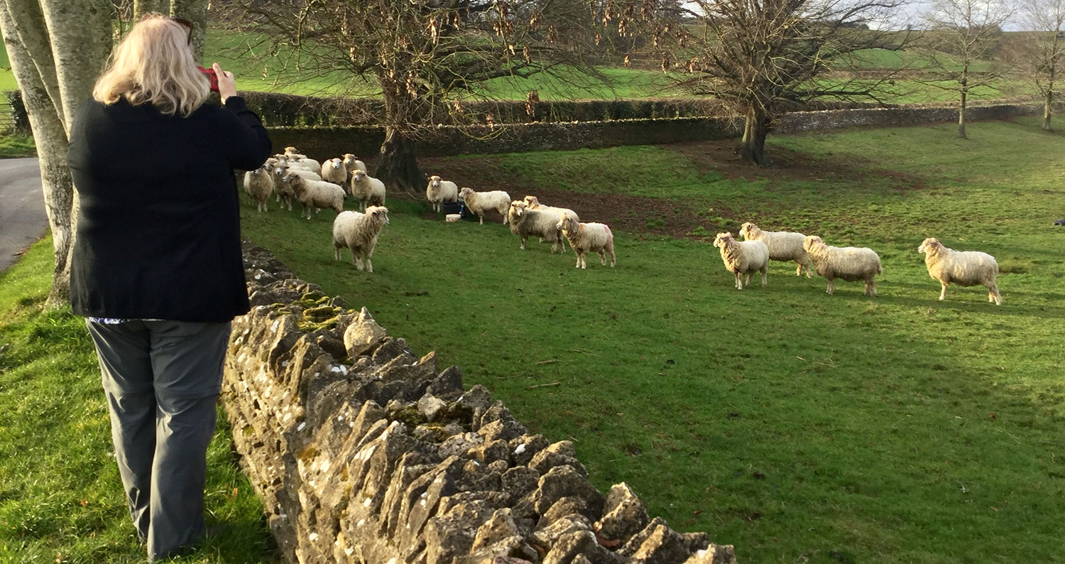 A CLIENT PHOTOGRAPHING THE COTSWOLD BREED OF SHEEP