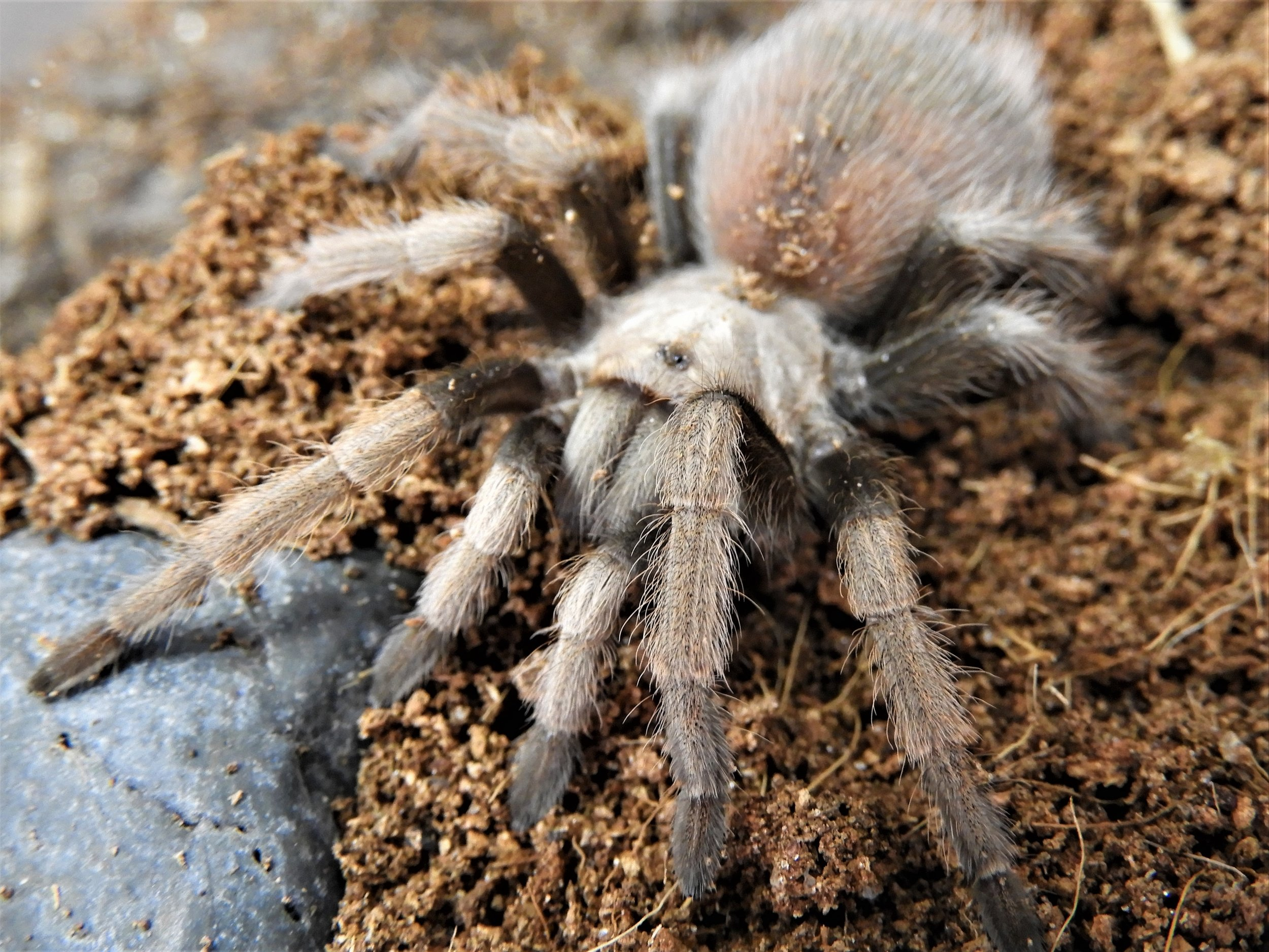 Aphonopelma Chalcodes Mexican Blonde 5-2.jpg