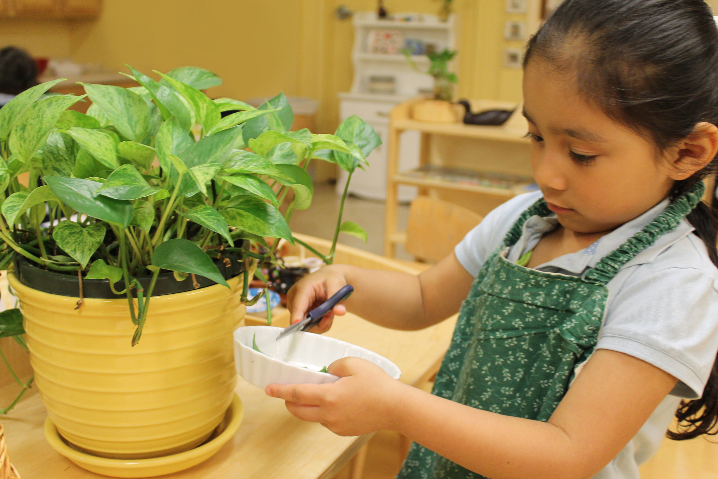 Photo caption: Girl pruning the plants in Siembra's classroom.