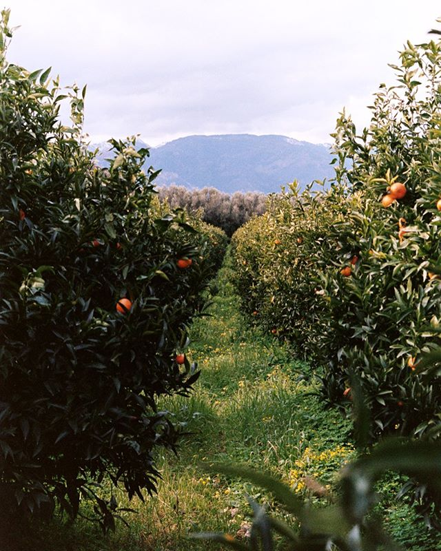 The winter citrus season is here, bringing bergamots, blood oranges and more. Pictured here is the Frammartino family's tangerine farm in Calabria 🍊 . . . #tangerine #wintercitrus #calabresefruit #calabria #Italianfruit #citrus #madeinitaly #citrusarchive