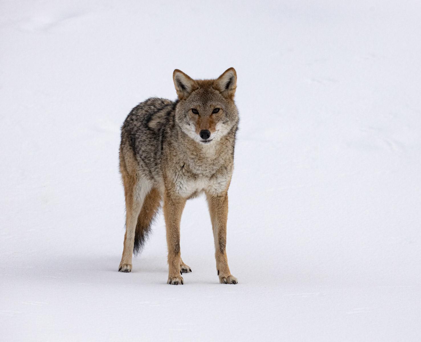 10 - Coyote.jpg