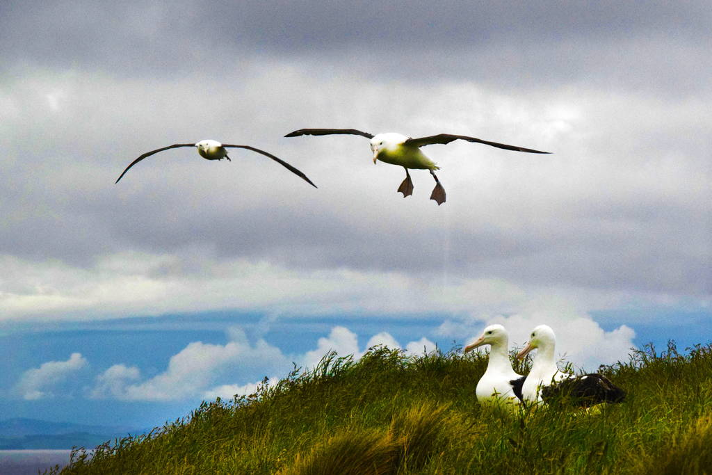 Visit the Royal Albatross Centre - Royal Albatross ColonyBlue Penguins Pukekura