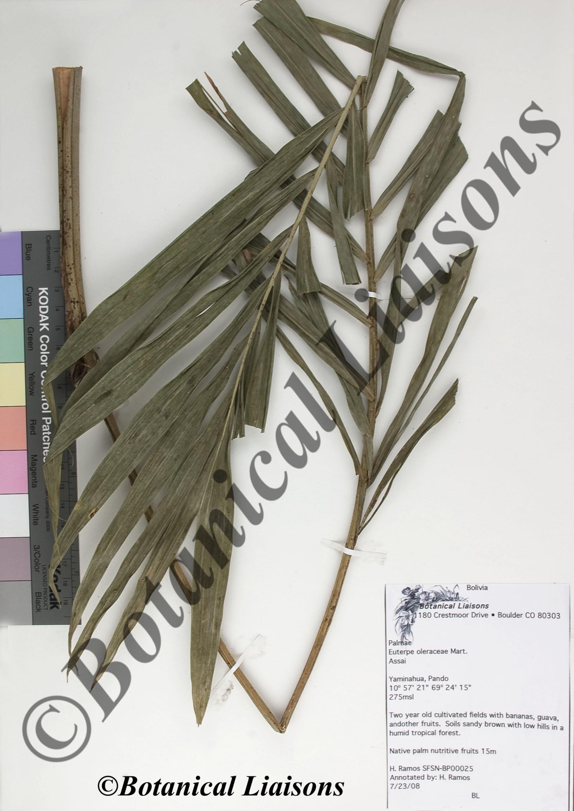 Euterpe oleraceae  2.jpg