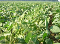 Soybean tops eaten off, sometimes the whole plant