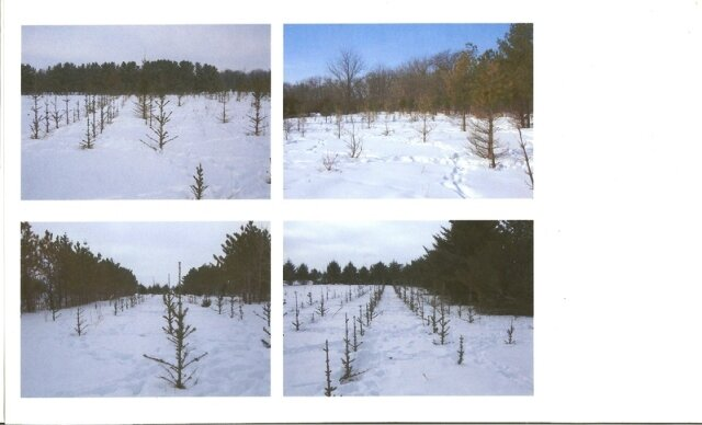 X-mas tree farm destroyed by deer eating them.
