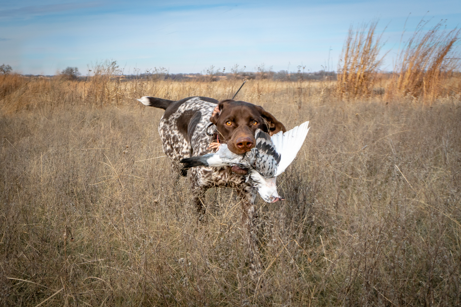 german-shorthaired-pointer-with-bird-in-mouth.jpg