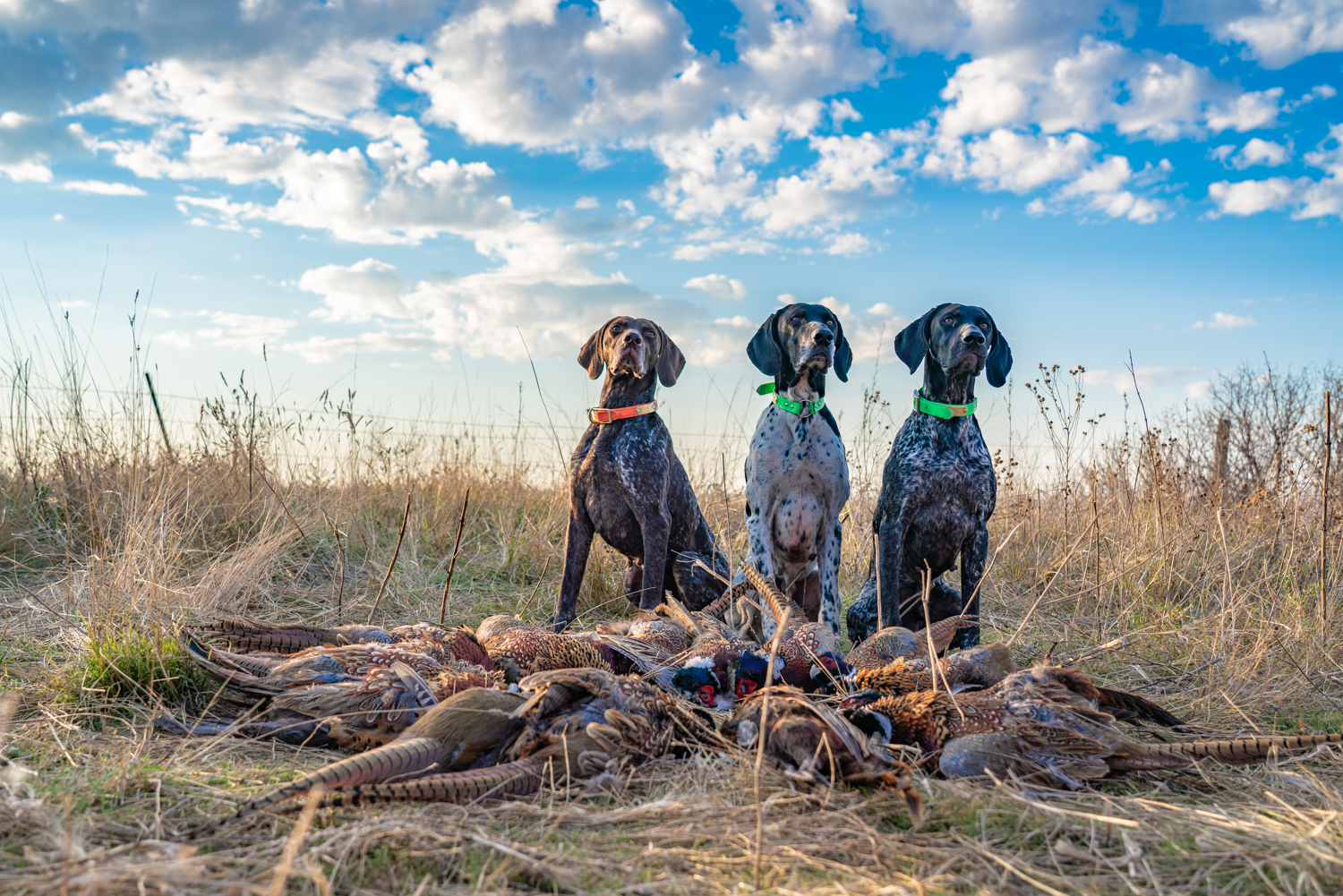 three-german-shorthaired-pointers-in-front-of-a-circle-of-pheasants.jpg