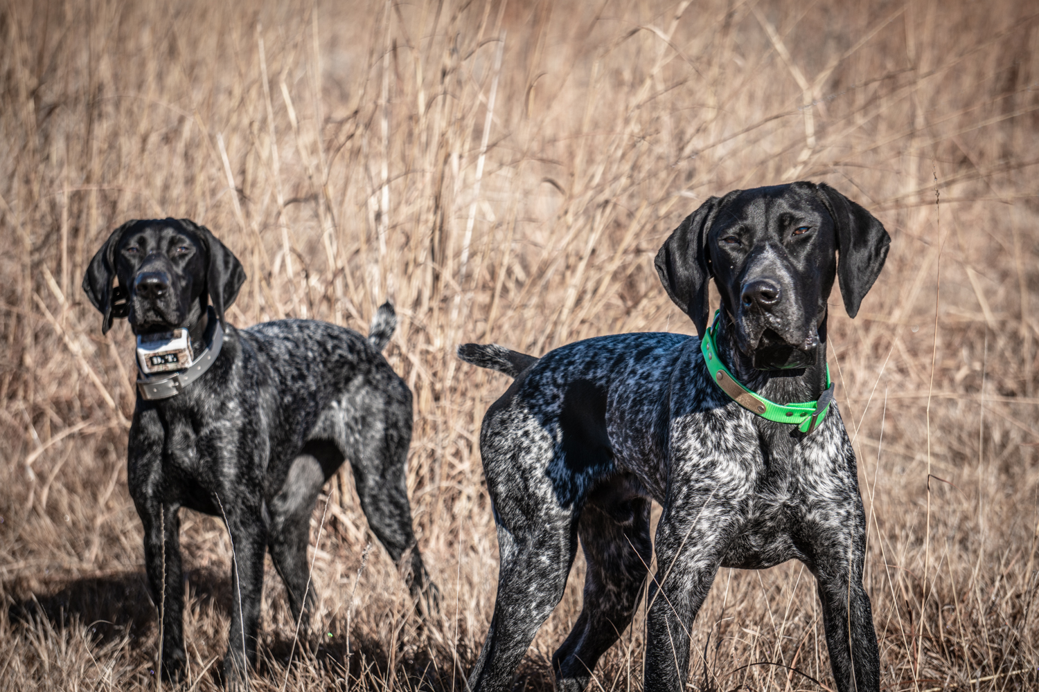 two-german-shorthaired-pointers-standing-in-a-field.jpg