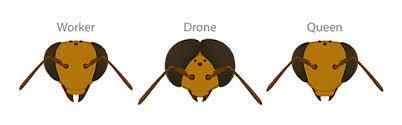 worker bee drone.jpg