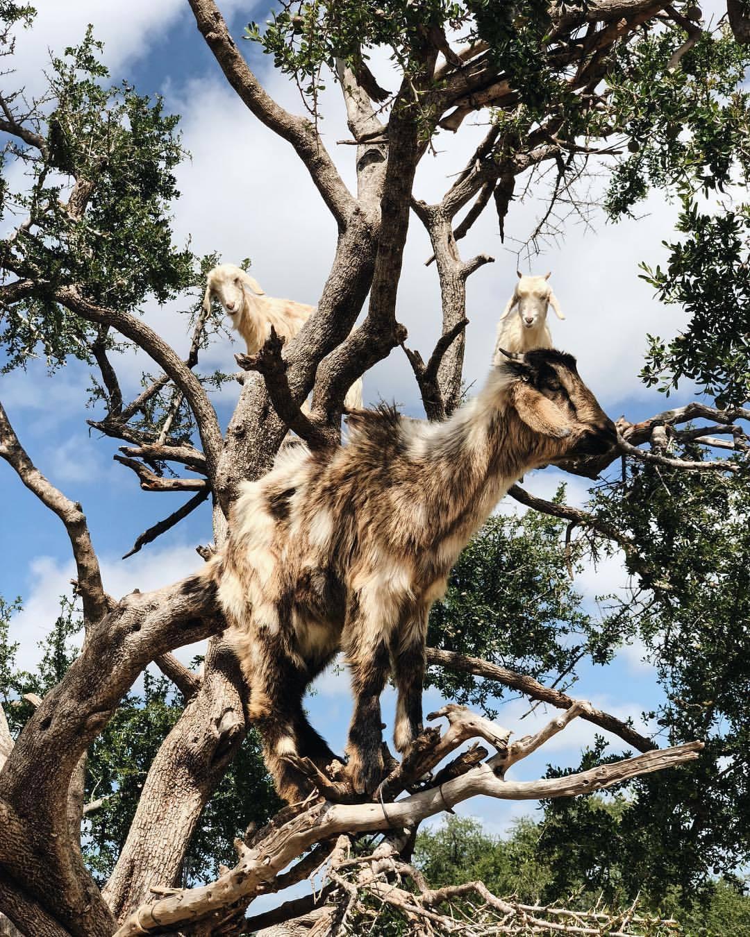goat gang  (at Essaouira)