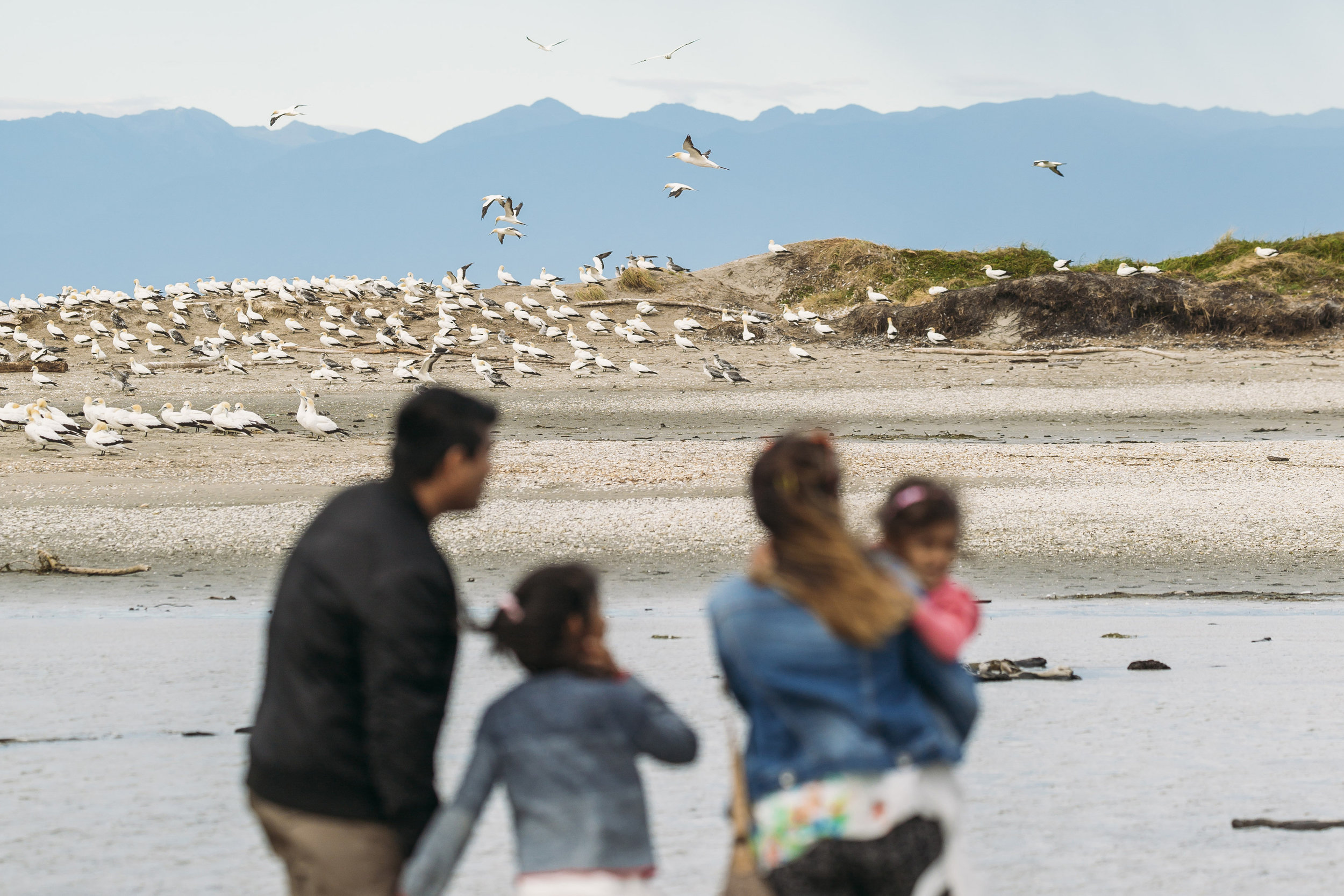 Watch sea birds, seals and other sea creatures in their natural habitati at Wharariki Beach and Farewell Spit in Golden Bay, NZ.