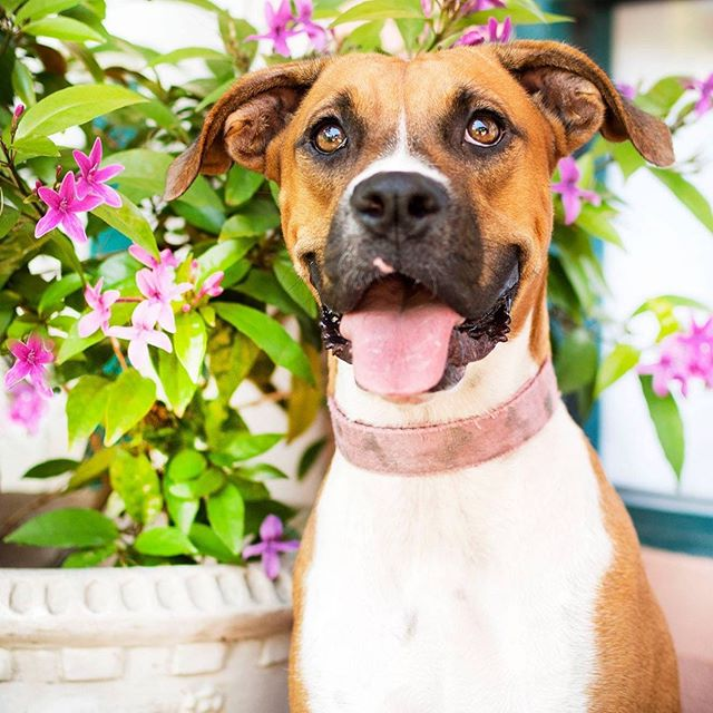 """#WomanCrushWednesday #WcW  This #WcW goes out to our gorgeous boxer mix puppy-gal """"Rosita""""... I mean, hullo... Of course she is! This sweet, snuggly year old petite girl is looking for a forever family of her very own, and common... Who wouldn't want her for their own #WCW every Wed of her life!  For more information on Adoptable """"Rosita"""" please visit our website www.RugazRescue.com or message us directly Rugaz Rescue Inc.  #RugazRescue #AdoptARugazRescueDog #RugazRescueFosterDog #RugazRescueFosterParent #FosteringARugazDogSavesLives"""