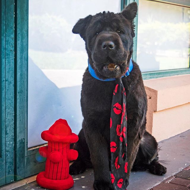 """#MancrushMonday  This #MCM goes out to Adoptable """"Charlie Day""""  Well, I mean... Can you even ask how could he not be? Is he a lion...or a fuzzy bear... Or LiBearDog? Or just a giant doggy-like Teddy Bear? We don't know, but we don't care! Cause' no matter what he is, we're crushing all over him!  Much like the human he's named after, Charlie Day has a super silly personality and all the looks to keep a smile on your face forever!  Send us a Message at Rugaz Rescue Inc. or submit an application on our website www.RugazRescue.com today!  #RugazRescue #AdoptARugazRescueDog #RugazRescueFosterDog #RugazRescueFosterParent #FosteringARugazDogSavesLives"""