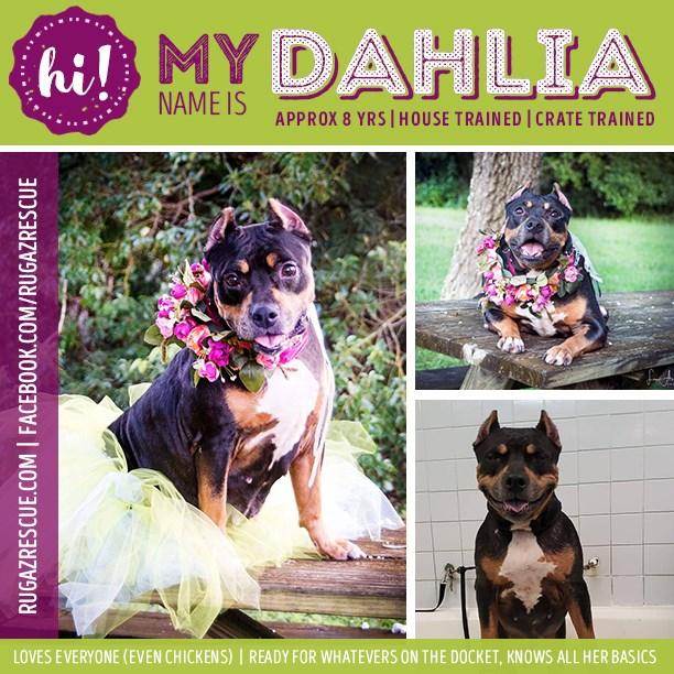 Dhalia - Breed: Terrier, Pit BullAge: 6 yearsGender: FemaleSize MediumColor: Black/TanTraining: House / Crate and Basics
