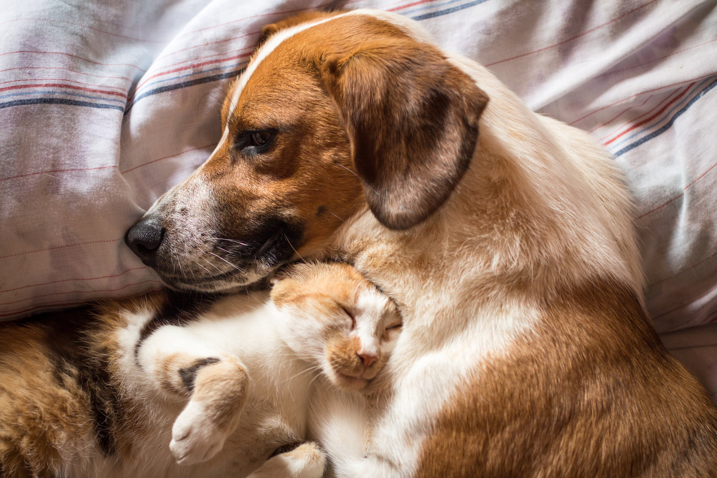 Give comfort when it is most needed. - Becoming a foster is an exceptional way to help our rescues. When you foster, you are taking a rescue into your home as if they are family. Fosters are responsible for daily care and supervision. Most importantly, fosters offer a warm, safe and loving place for animals to heal and grow. Medical care and food expenses are covered by the foundation as well as full pet care guidance.